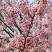 start of the cherry blossom season in Japan by hrs