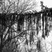 Draping pine tree