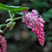 Early signs of Spring - Flowering Redcurrent at f2.2