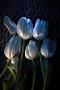 19th Mar 2017 - Tulip - in repose