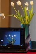 20th Mar 2017 - Tulip - Screen Star