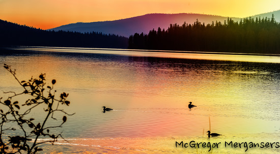 Mergansers by 365karly1