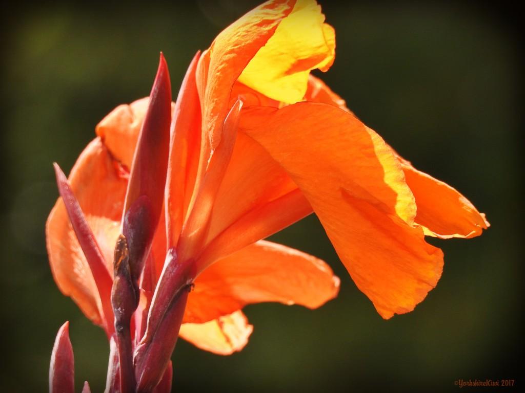 Canna Lily by yorkshirekiwi
