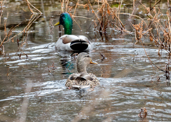 Two Mallards by rminer