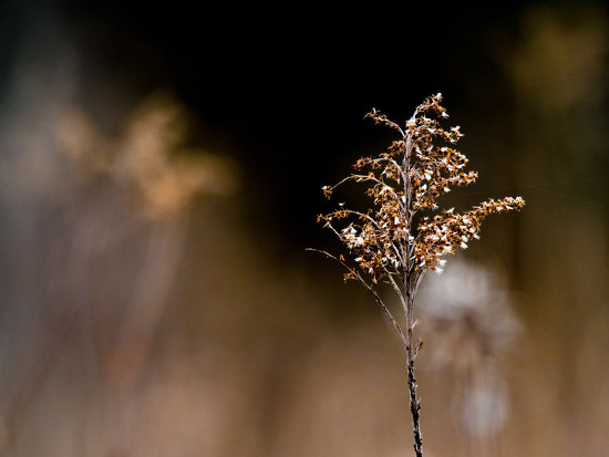 Prairie Plant Brown by rminer