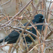 Red-winged Blackbird in a thicket
