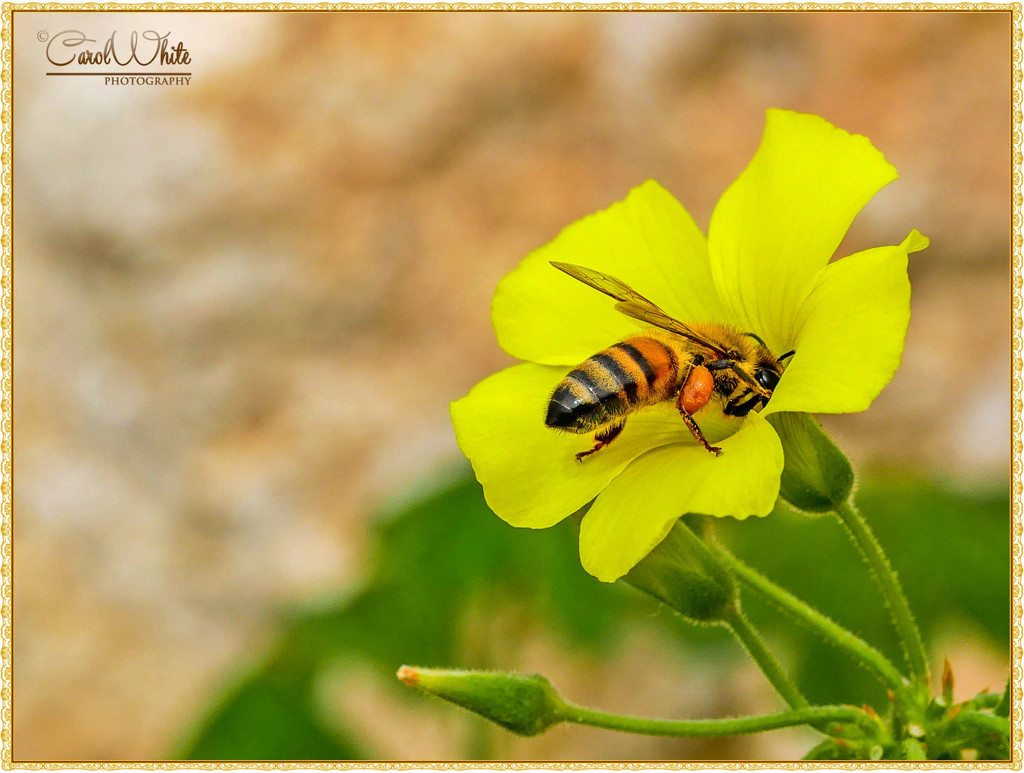 Cape Sorrel And Bee (Cyprus) by carolmw