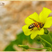 Cape Sorrel And Bee (Cyprus)