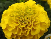 22nd Mar 2017 - African Marigold