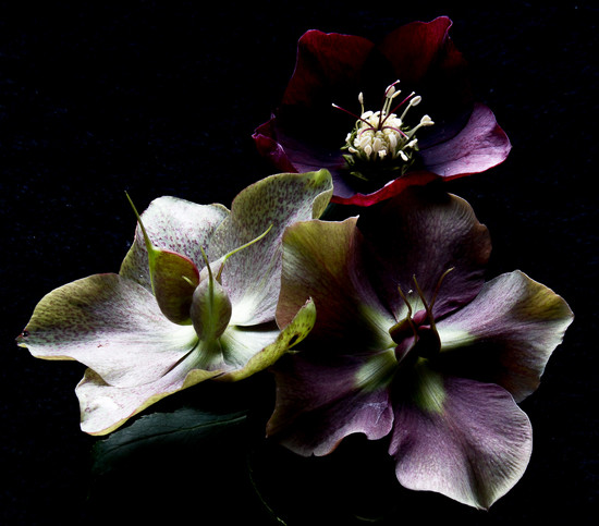 March 2017-20  A Trio of Hellebores by jqf