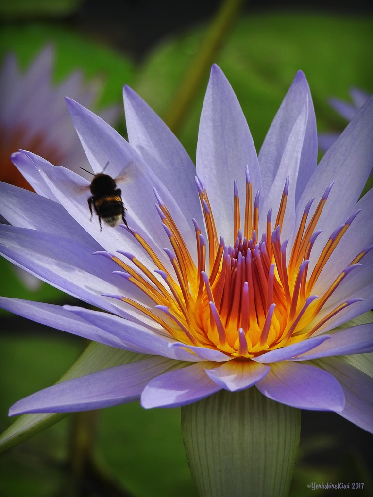 Water Lily and Bumble Bee by yorkshirekiwi