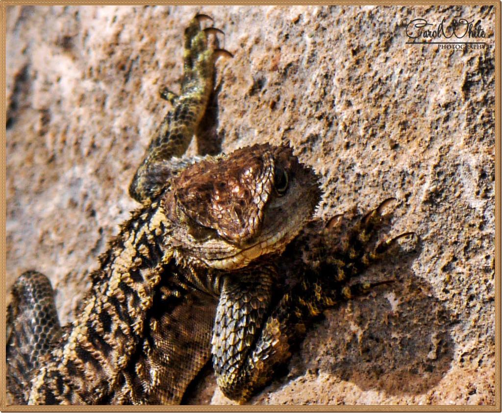 Lizard by carolmw