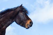 22nd Mar 2017 - 2017-03-22 - Dartmoor Pony again