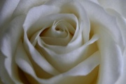 22nd Mar 2017 - White Rose