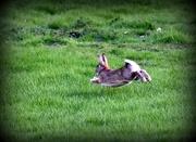 22nd Mar 2017 - Run rabbit run