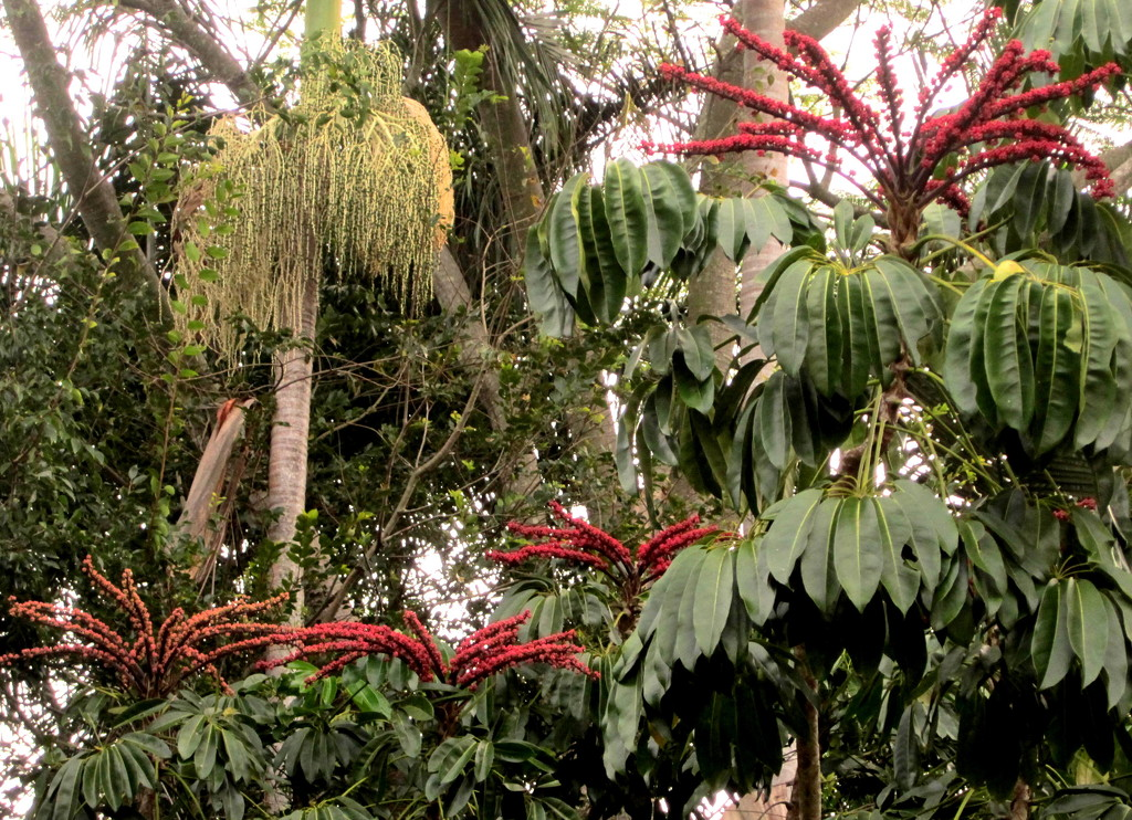 Looking up into the top of my jungle out the back of my house.  The red flower is an Umbrella tree by 777margo