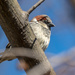 House Sparrow in a tree