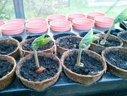 23rd Mar 2017 - Runner bean seedlings