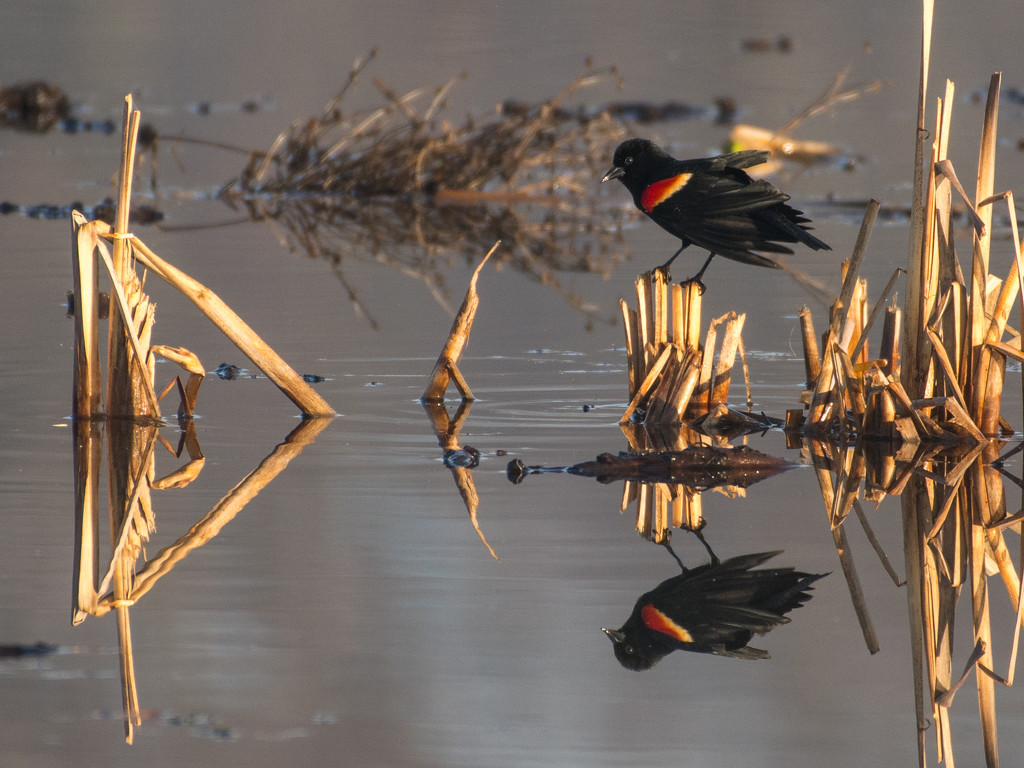Red-winged Blackbird by dridsdale