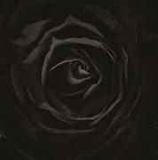 23rd Mar 2017 - Rose