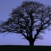 Blue Oak by rjb71