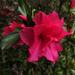 Azalea Season in the South by milaniet