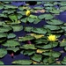 Water Lily's ~ by happysnaps
