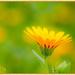 Field Marigold, Cyprus