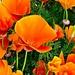 Wild California Poppies by gardenfolk