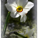 Narcissus 'poeticus' by ivan