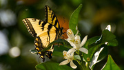 25th Mar 2017 - Eastern Tiger Swallowtail on the Orange Blossom's!