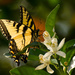 Eastern Tiger Swallowtail on the Orange Blossom's! by rickster549