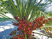 26th Mar 2017 - A little kind of date palm?