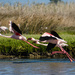 Flying Flamingos by salza