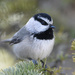 mountain chickadee by mjalkotzy