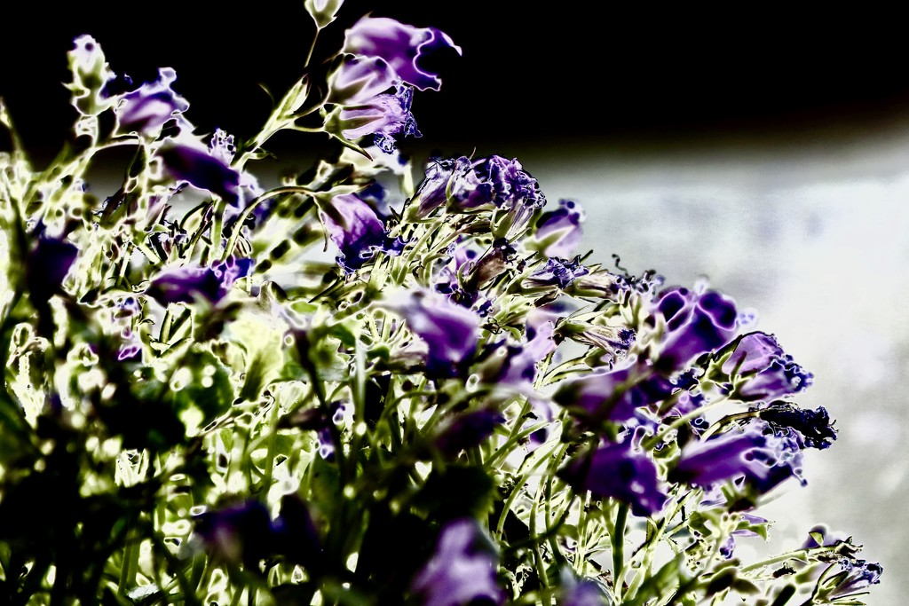 85/365 - Violet: At the end of the visible spectrum. by wag864