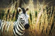 26th Mar 2017 - Zebra for Z