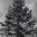 Pine Tree Shot #25 - Rain