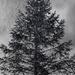 Pine Tree Shot #25 - Rain by skipt07