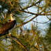 Osprey in the Pines!