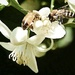 Busy Bees On The Orange Blossoms by joysfocus