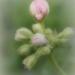 Pink Geranium Buds by joysfocus