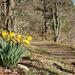 Golden Daffodils by jamibann
