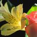 Peach Rose by paintdipper