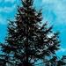Pine Tree Shot #26 - Visitor