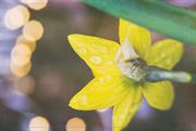 27th Mar 2017 - Raindrops on Daffodils