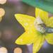 Raindrops on Daffodils by lyndemc