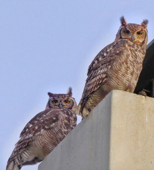 Uhuuuu...... Spotted Eagle Owls by ludwigsdiana