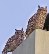 28th Mar 2017 - Uhuuuu...... Spotted Eagle Owls