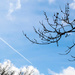 Tree branches with contrail in the sky